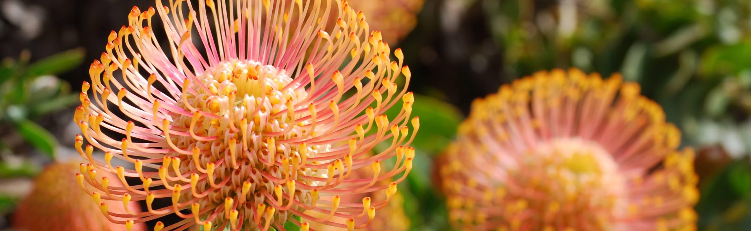 Hintergrundbild Protea